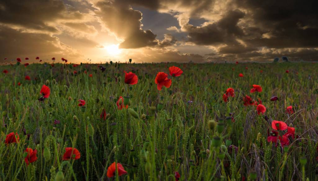 Poppies in a field in the Cotswolds countryside