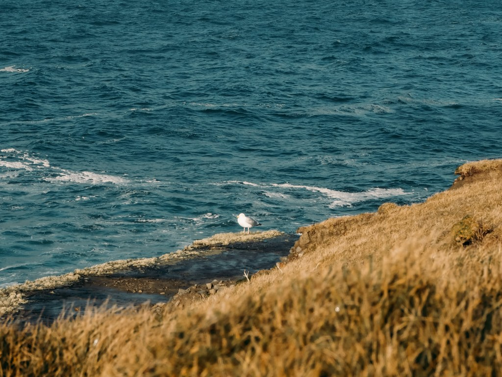 Seagull sitting on a cliff edge on The Wild Atlantic Way in Ireland