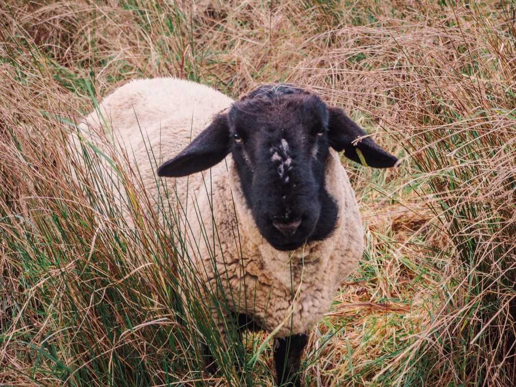 Sheep with a black face standing in a field of long grass.