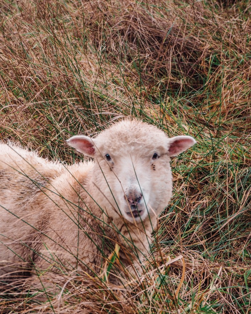 White Sheep in a field of long grass