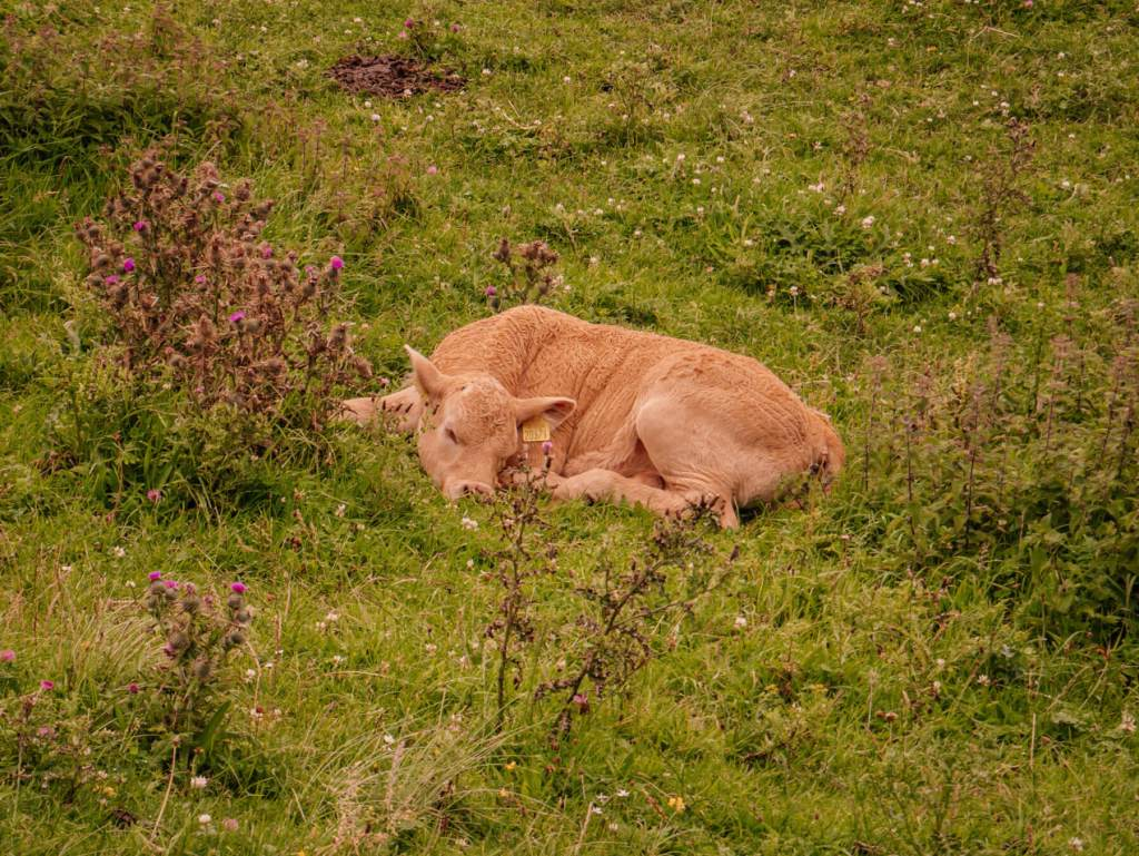 Calf lying in a field at Murder Hole Beach in County Donegal Ireland