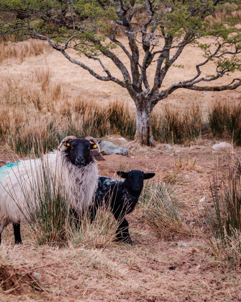 Ewe and her baby lamb in Connemara Ireland