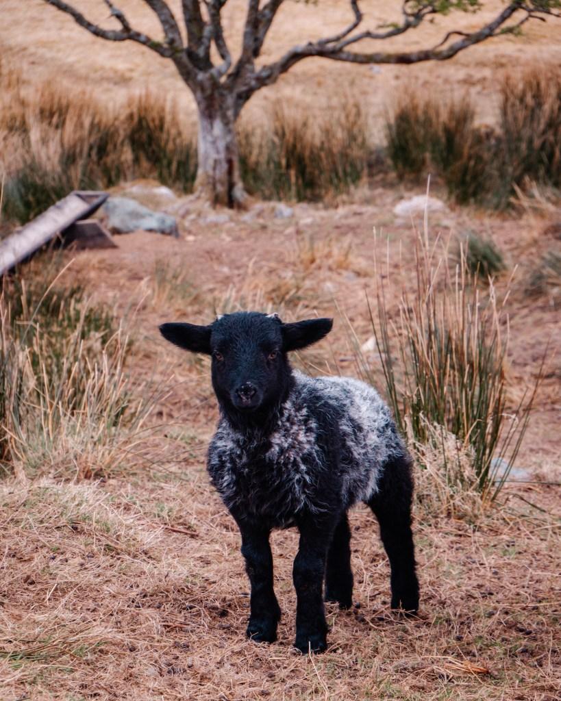 Black baby lamb in Connemara Ireland