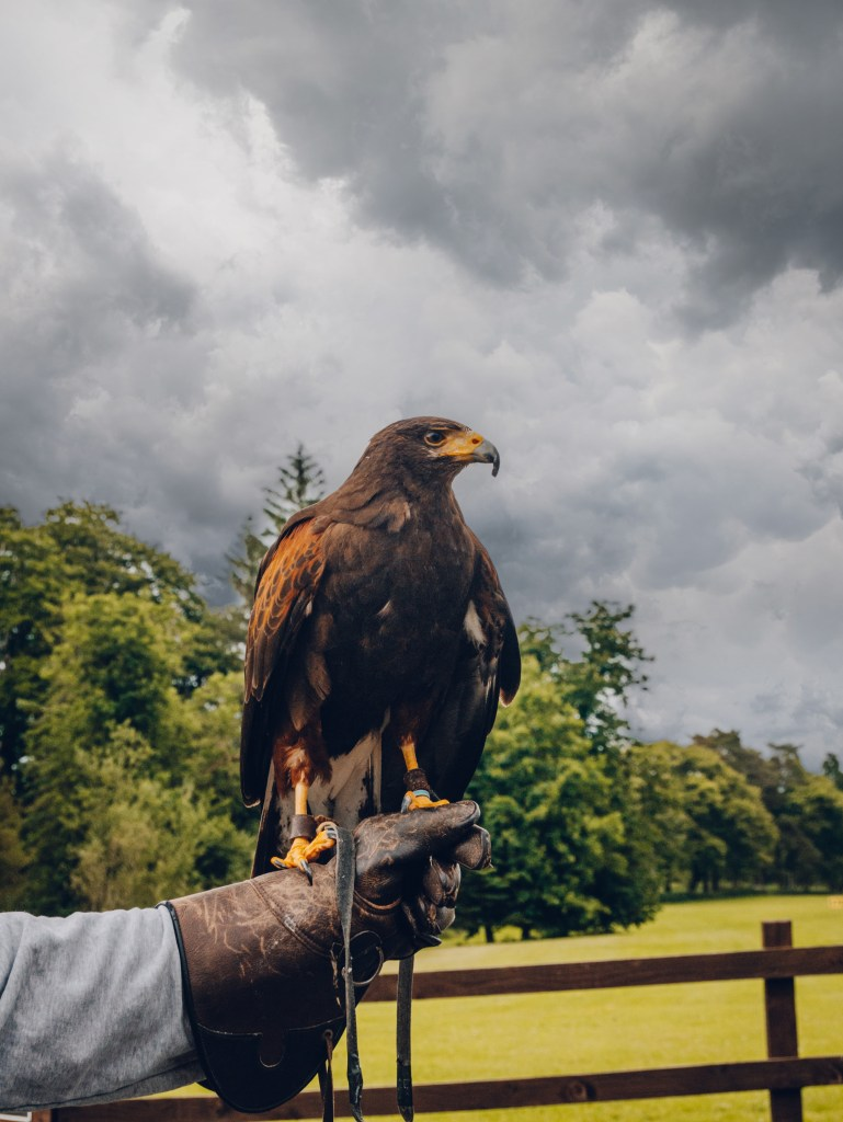 Harris Hawk against a stormy sky at  Mount Falcon