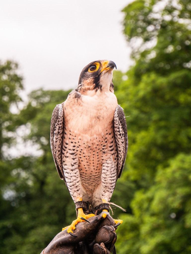 Male Peregrine Falcon