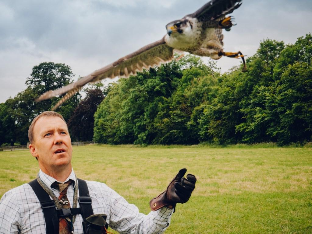 Falcon in flight at the Hawkeye school of falconry in Kilkenny Ireland