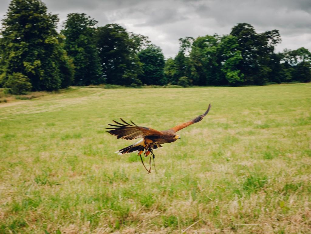 Harris hawk in flight at the Lyrath estate in Kilkenny Ireland