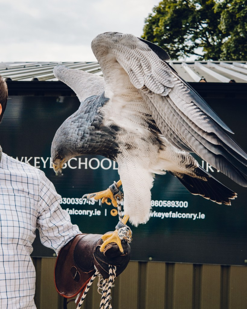 Chilean Blue Eagle at the Lyrath Estate Kilkenny