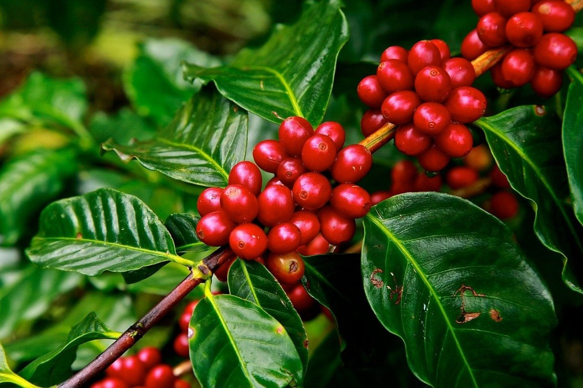 coffee beans, ripe, agriculture
