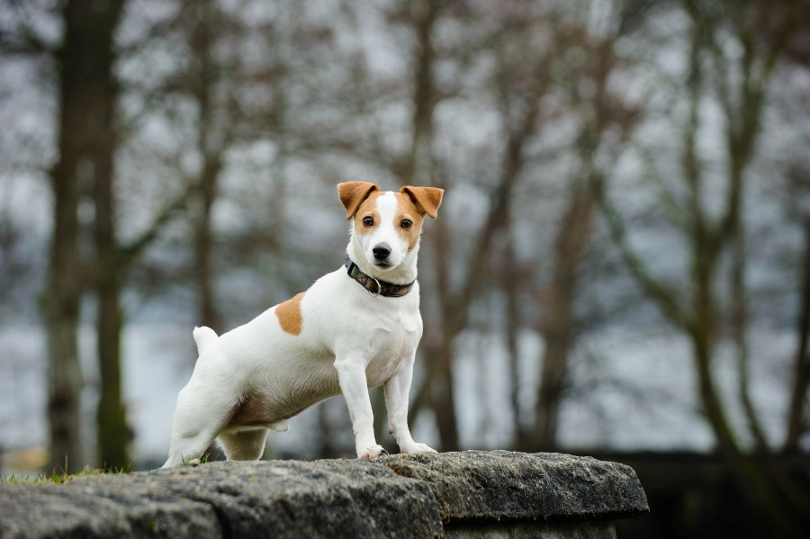 傑克羅素梗犬-狗的品種-有關此犬種的評論| allans.pl