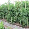Taller than tall tomato plants allard street community garden