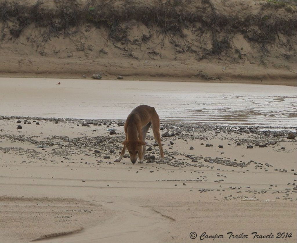 Dingo Safety