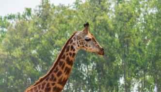 giraffe in close up photography