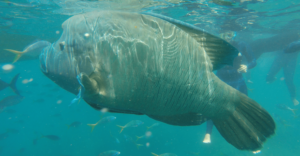 A Snorkeling Day Trip - Hump Headed Maori Wrasse