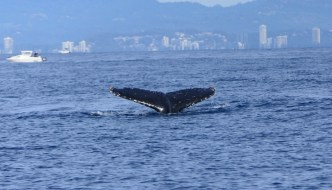 Whale Watching in the Gold Coast