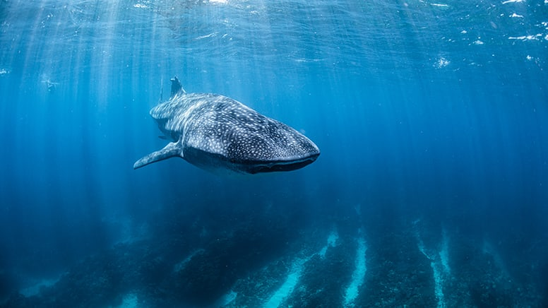 Swimming with Whale Sharks - Bucket List Tick