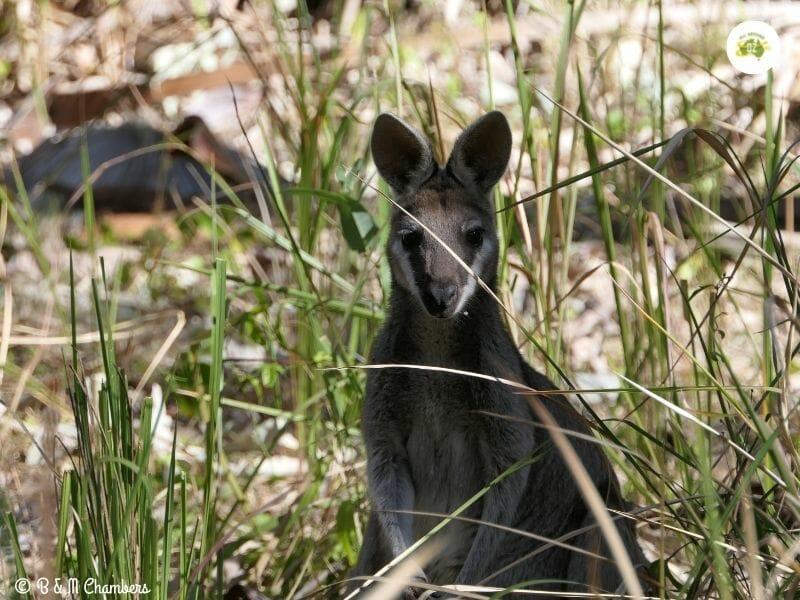 A Pretty Faced Wallaby