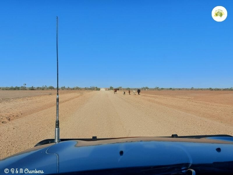 Driving in the Outback - Stock on the Road