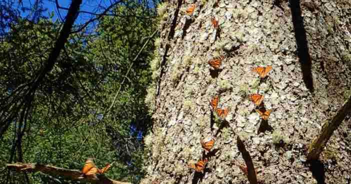 アンガンゲオの森のモナルカ蝶(幹についている)