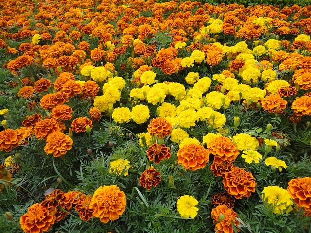 センパスチル(マリーゴールドの花)