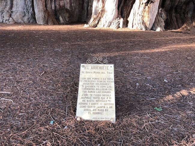 トゥーレの木「Ahuahuate」