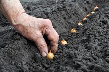 Сажаем лук под зиму: преимущества и сорта