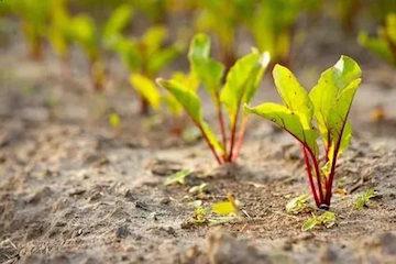 Подзимний посев свеклы: сорта, сроки, нюансы