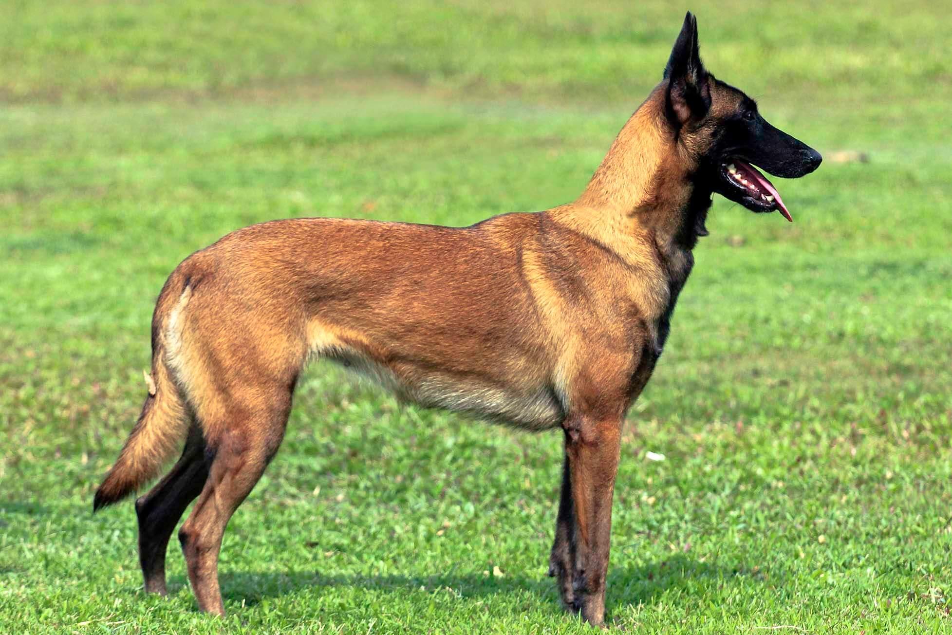 belgian malinois all big dog breeds