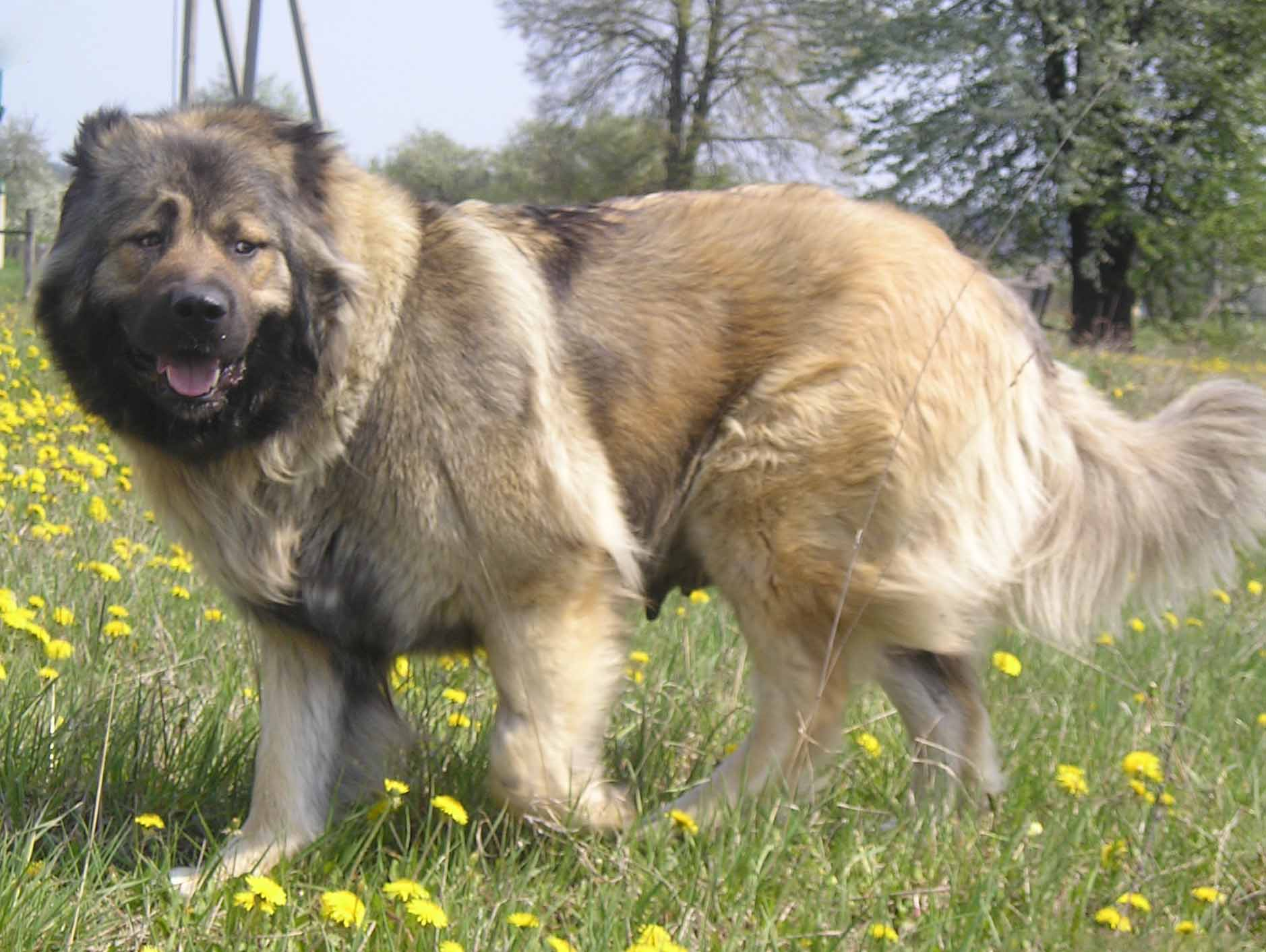 Caucasian Shepherd Dog All Big Dog Breeds