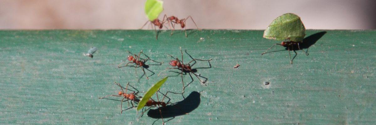 Leaf cutter ants in Panama