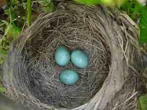 bird-eggs-766832-print