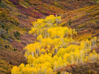 A grove of aspens explodes in bright yellow on a hillside covered in the more muted colors of scrub oaks