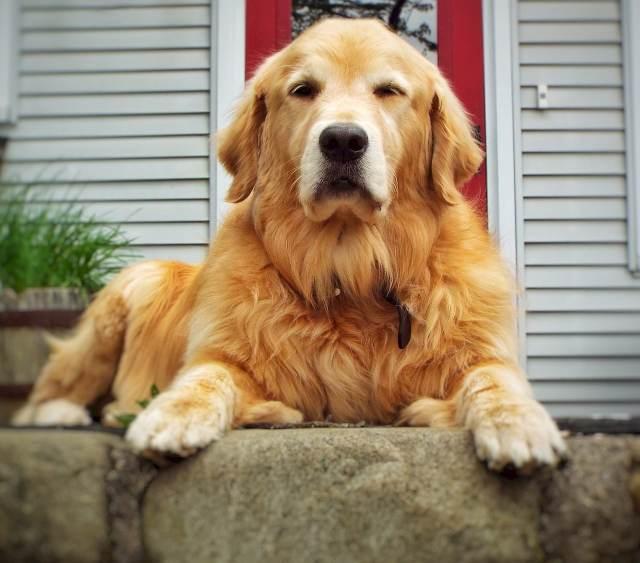 dog, golden retriever, resting