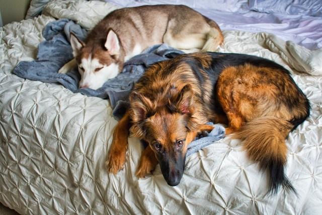 dogs, husky, german shepherd