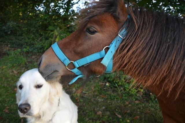 kiss, shetland pony, dog golden retriever