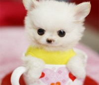 Teacup dogs, Breeds and The truth about teacup puppies ...