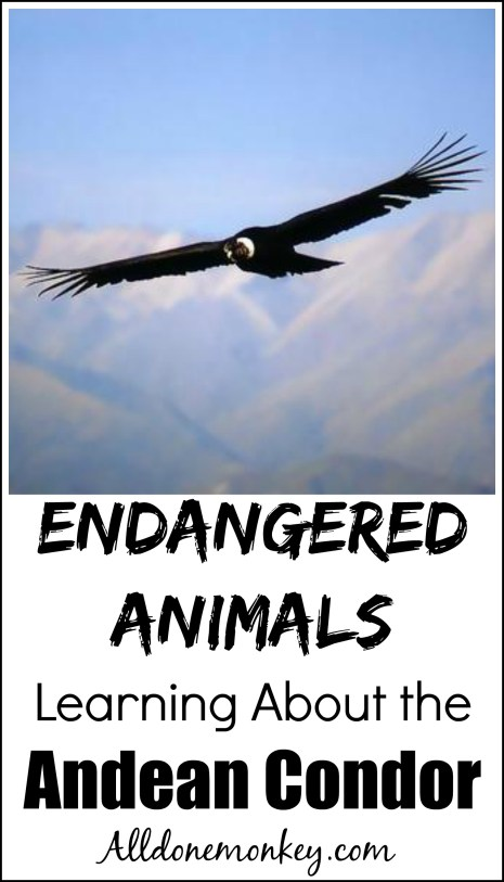 Endangered Animals: Learning about Andean Condors | Alldonemonkey.com