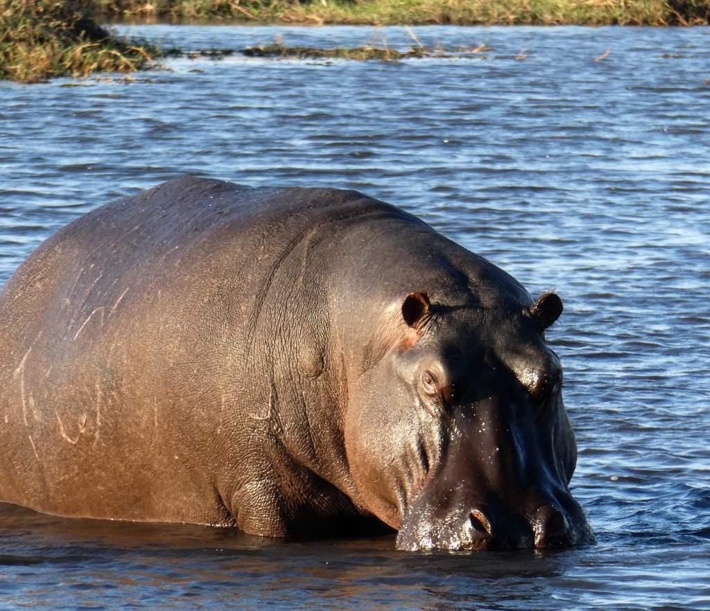 Nijlpaard in Chobe park