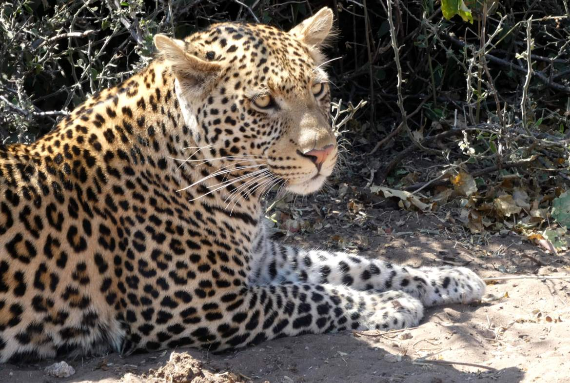Luipaard in het Chobe National Park in Botswana
