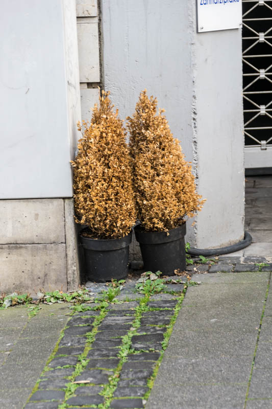 Auch Das Ist Aachen Buchsbaumentsorgung Einfach Vor Die Tr Gestellt