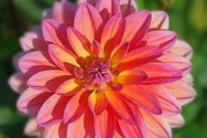 Image result for dahlia flower meaning