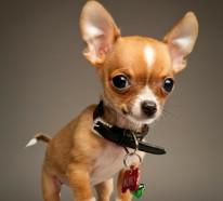 Kleinste Hunderasse der Welt  Die sen Chihuahuas