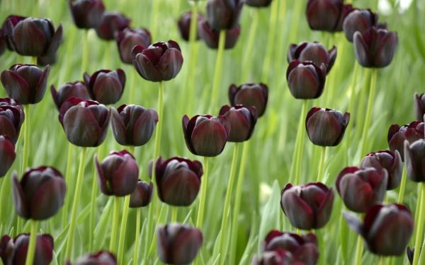 Schwarze Tulpen bereiten Freude frs Auge und die Seele