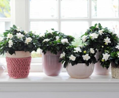 Blhende Zimmerpflanzen fr einen magischen und frischen Duft
