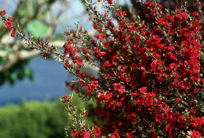 Teebaum aus der Nhe betrachtet