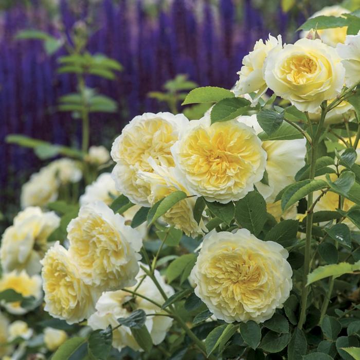 Englische Rosen  ein visueller Genuss im Garten