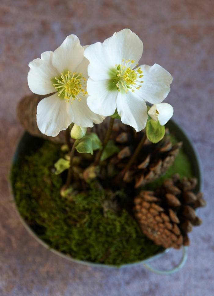 Gartenpflanzen  die Christrose oder noch Schwarze