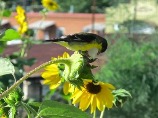 Sonnenblume im Topf  Tipps fr die Pflege