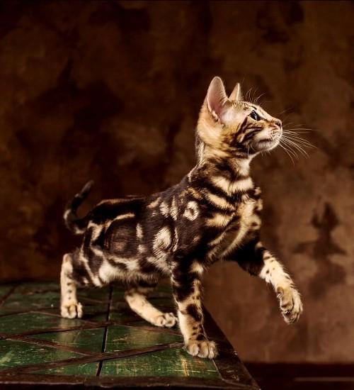 6 Allergiker Katzen fr berempfindliche Samtpfotenfreunde  Wohnideen und Dekoration