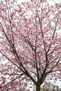 cherry-blossom-impressionist-effect